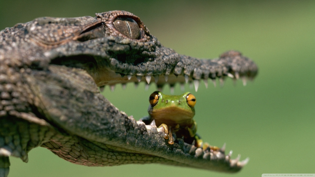 Crocodile Eating Frog