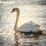 swan-water-bird-lake-white